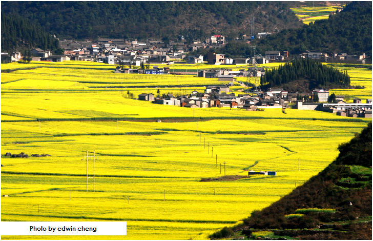 Canola (Rapeseed) Flower Fields, Luoping, China