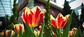 Tulipa cv. 'Grand Perfection'