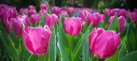 Tulipa cv. Purple Prince