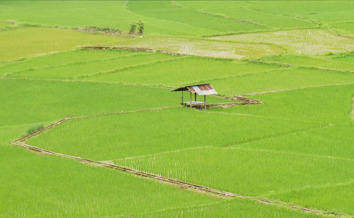 Rice paddy, Pua District, Nan, Thailand