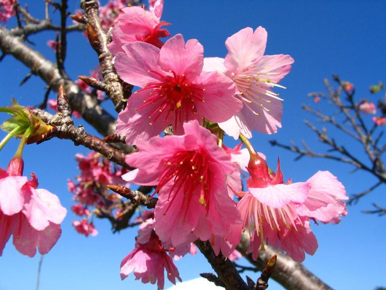 Sakura, Okinawa