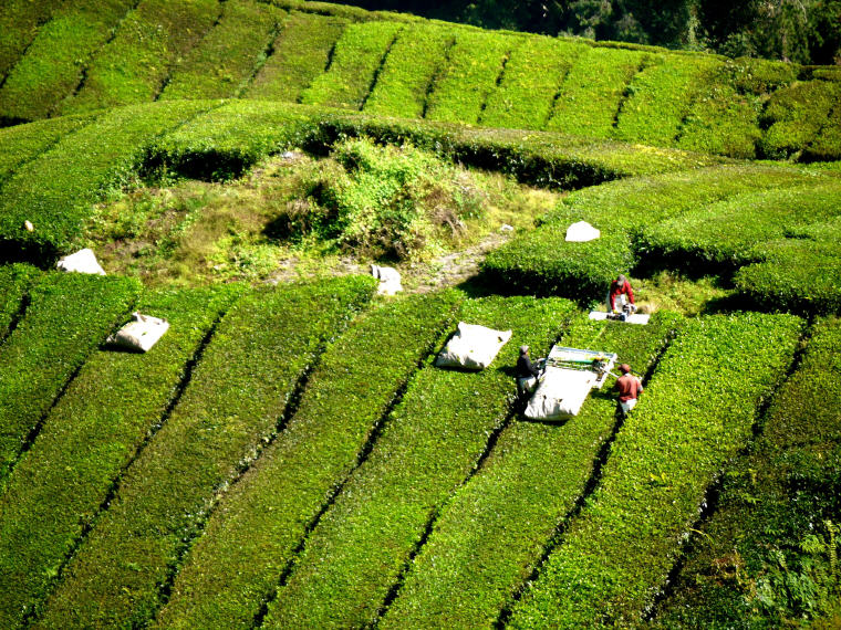 Tea plantations, Cameron Highlands, Malaysia, 10 coolest destinations in Asia-Pacific to escape the sweltering heat
