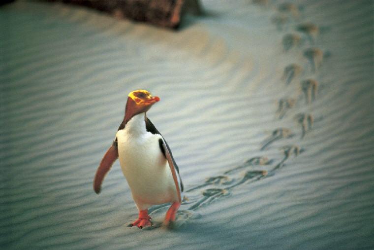 Yellow-Eyed Penguin, Dunedin, Coastal Otago, Photo credit: Penguin Place