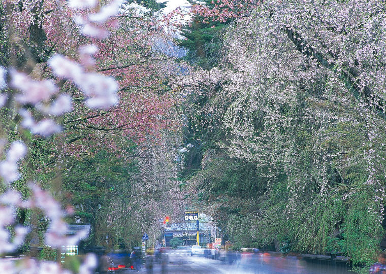 Cherry Blossoms, Kakunodate, Akita, ©Akita Prefecture/©JNTO, Cherry Blossoms Spots in Japan that are off the tourist trail