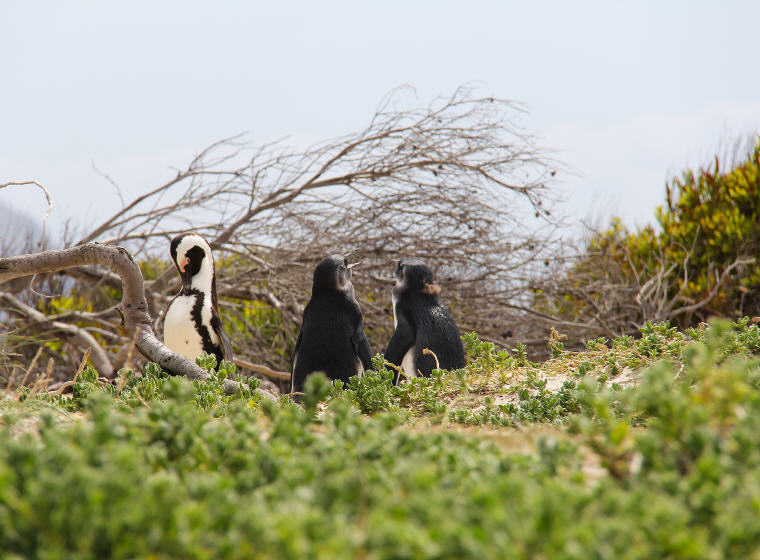 Penguins, Boulders Beach, Cape Town, Photo by Sharon Ang, 10 emerging hottest destinations to visit in 2018