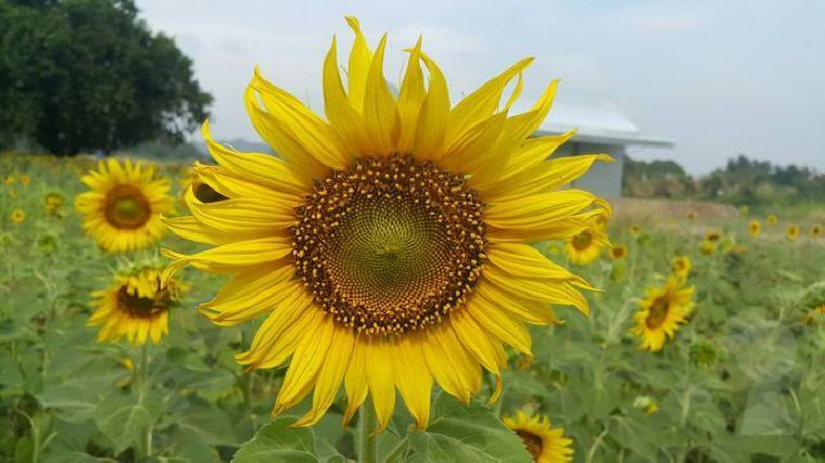 Sunflower field in Saraburi, Best Day Trips from Bangkok: 6 Insider's Tips by Local Experts