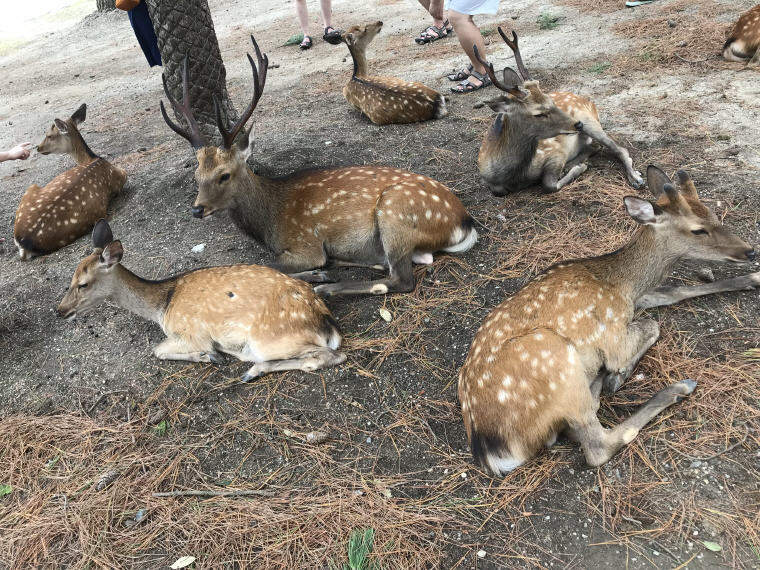 More deer, Nara Park, 6 Days 5 Nights Osaka, Kyoto and Tokyo Trip