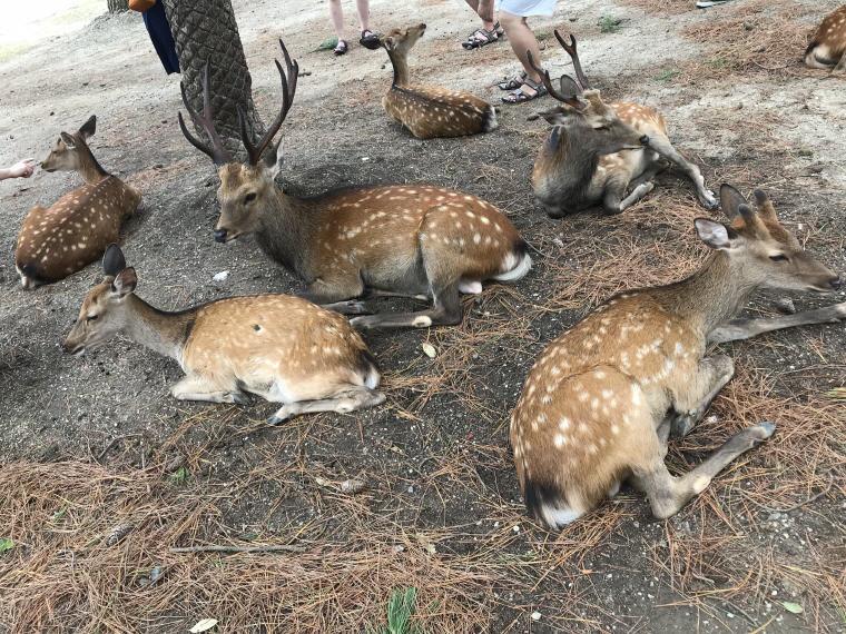 More deer, Nara Park, 6 Days 5 Nights Osaka, Kyoto and Tokyo Trip
